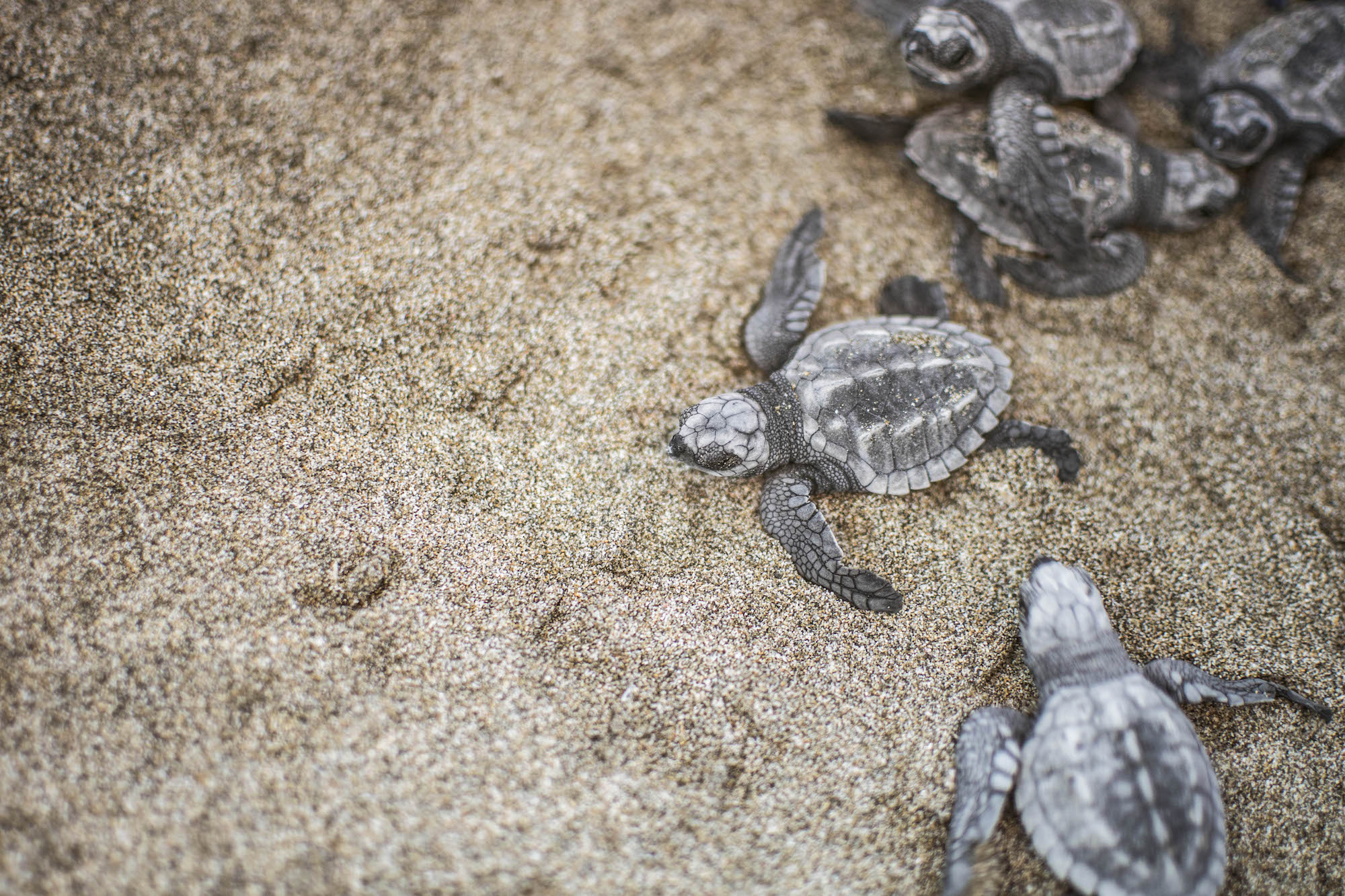 Baby Turtles Release | Troncones | LovaLinda Photography