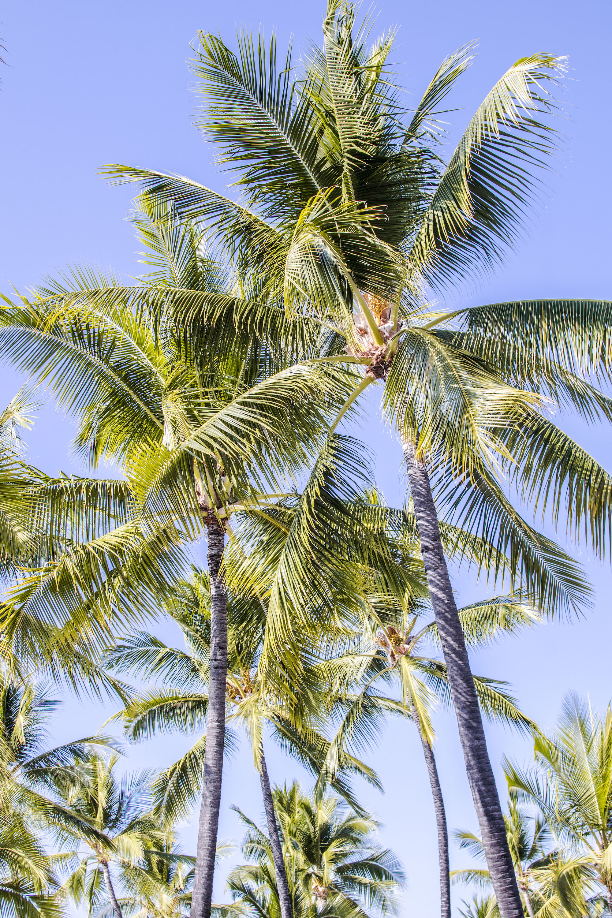 Palmtrees _ Big Island _ Hawaii _ LovaLinda Photography