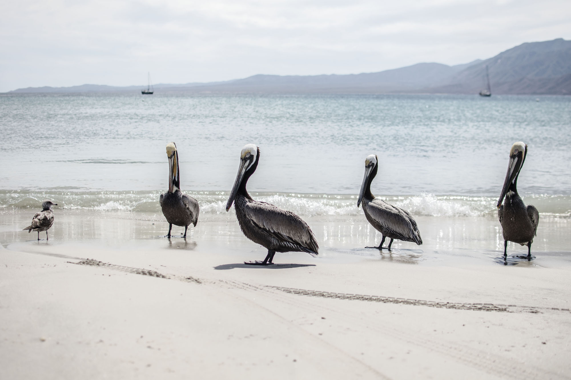 Pelican   Isla Espiritu   La Paz   LovaLinda Photography